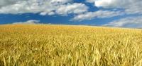 Um mundo de milho