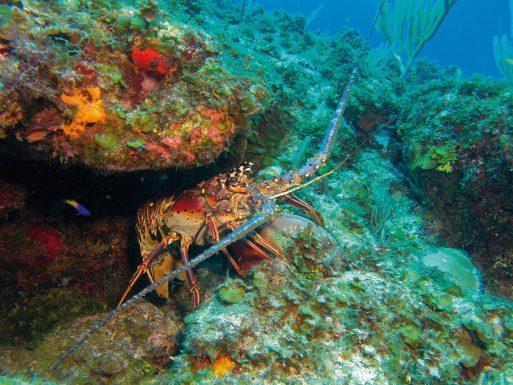 Nuevo Baluarte Slow Food en México para proteger la Langosta Espinosa del Caribe
