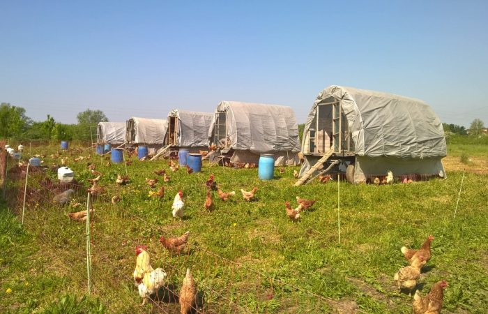 Animal Welfare: a Tea with the Chickens from Cascina Santa Brera