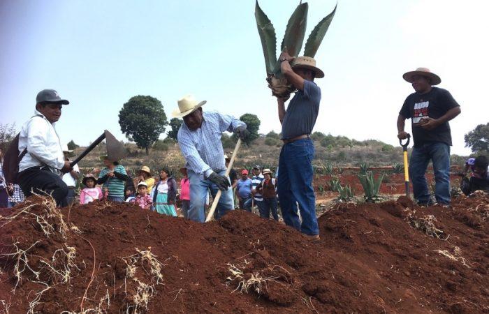 Arranque de reforestación del Baluarte del Maguey de la Mixteca Oaxaqueña