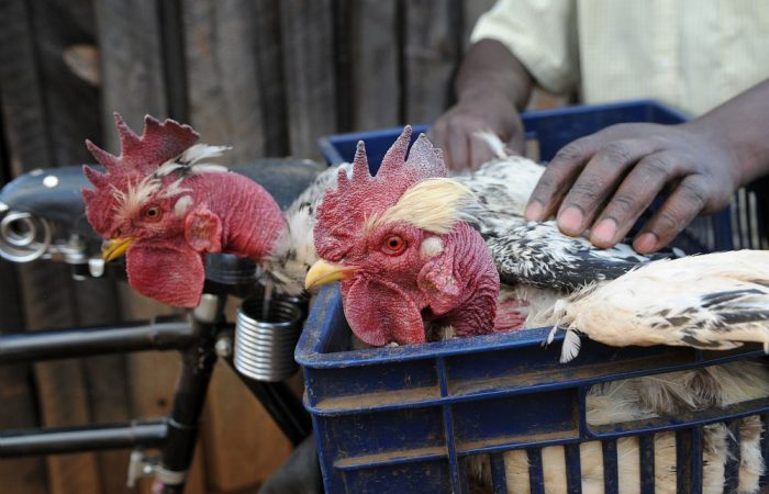 Slow Meat – The Mushunu Chicken From Kenya Sets the Pace