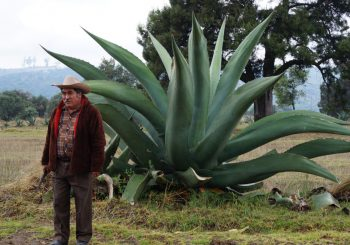 Pulque: the beverage of the gods – Oaxaca Mixteca Agave Presidium