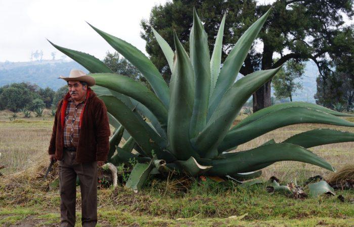 El pulque: la bebida de dioses. El Baluarte del maguey de la mixteca oaxaqueña