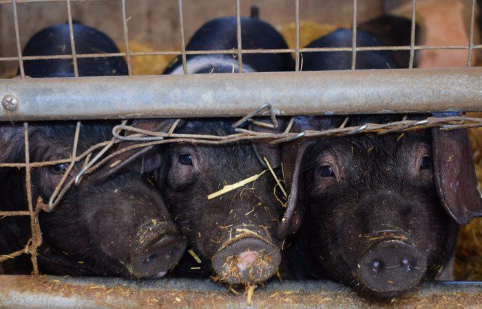 Ni buenas, ni limpias ni justas: No a las megafactorias porcinas en Argentina