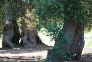 olive oil newsletter